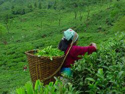 Сбор чая ахмад на поле