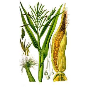 Початки кукурузного рыльца