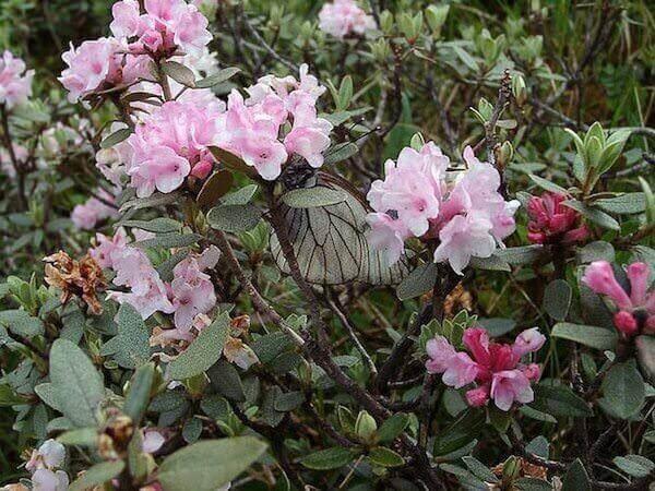 Цветок Саган Дайля