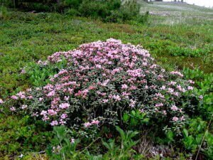 Цветы Саган Дайля