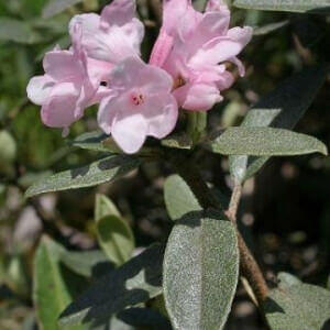 Розовый цветок Саган Дайля