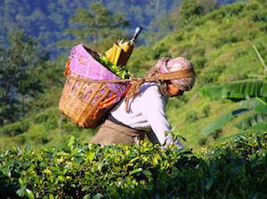 Женщина на чайной плантации