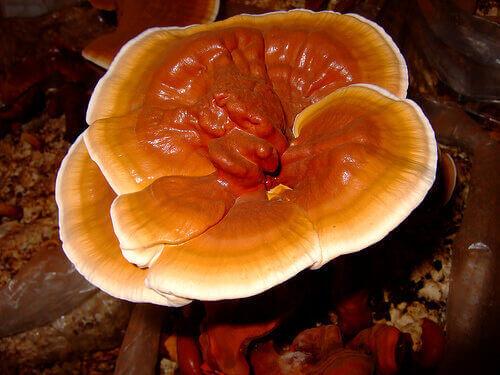 Картинки по запросу гриб рейша