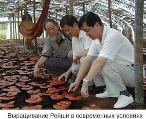 Выращивание гриб рейши