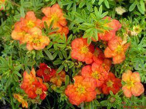 Красные цветы курильского чая