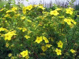 Желтые цветые курильского чая