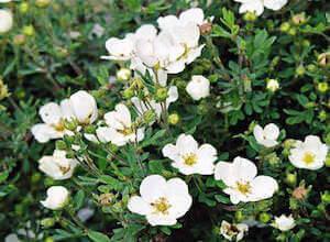 Белые цветы курильского чая