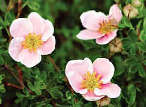 Розовые цветы курильского чая
