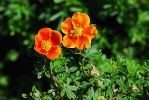Красный цветок курильского чая