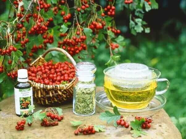 Все о плодах и цветках боярышника: свойства, применение и противопоказания