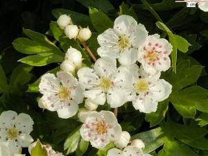 Белые цветы боярышника