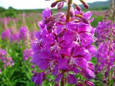 Польза цветков иван-чая