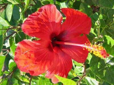 Цветок каркаде
