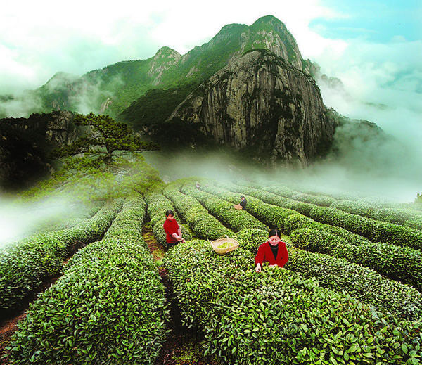 Основную часть Молочного улуна выращивают на плантациях Тайваня