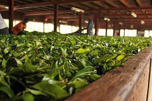 Ферментация чайного листа в затененном месте