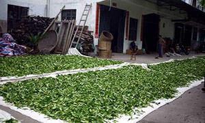 Собранный чайный лист на подворье производителя